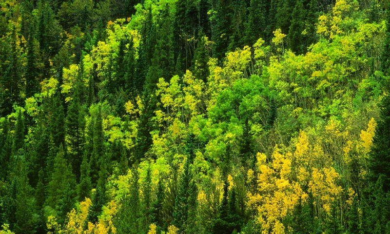 Aspens Changing in Arapho National Forest