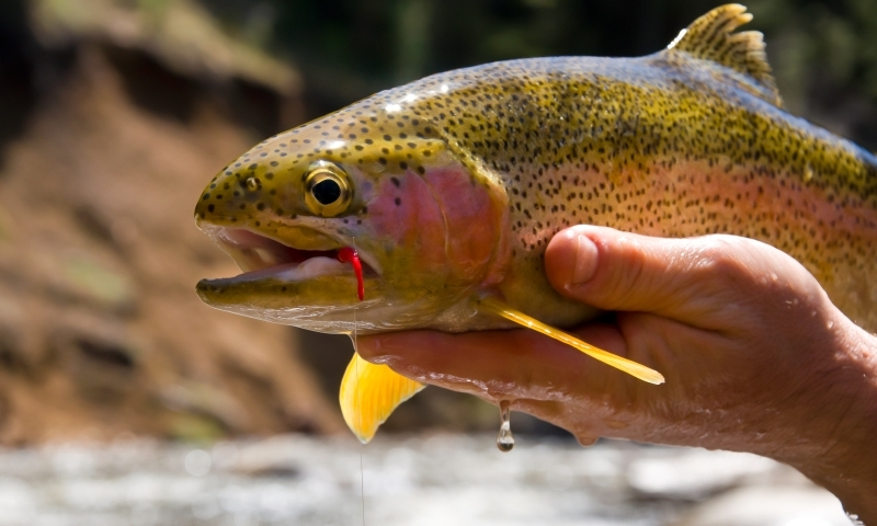 Colorado river colorado fly fishing camping boating for Yampa river fishing report
